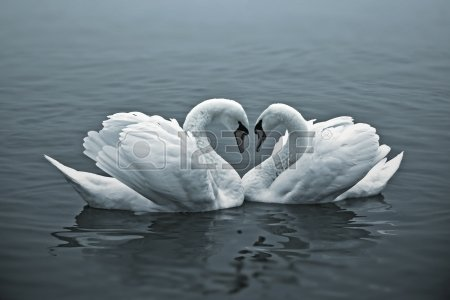 cisnes carícia1796125299056525150..jpg